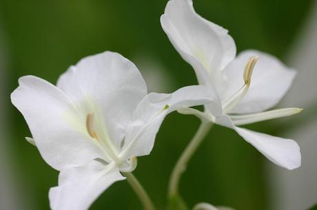 白いジンジャーの花: ナベショーのシニアーライフ