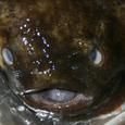 布袋魚(ホテイウオ)