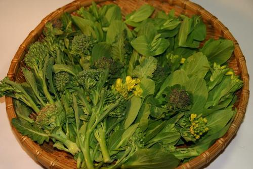 チンゲン菜の花芽とブロッコリーの脇芽