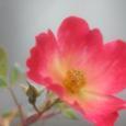 コクテール 冬のバラ