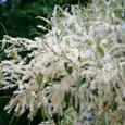 ドングリの花