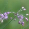 ラッキョの花