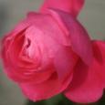 冬のバラ(2)