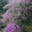 枝垂れ桜とミヤマツツジ