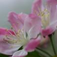 花カイドウ