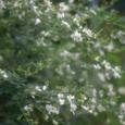 ミヤギノハギ(白)