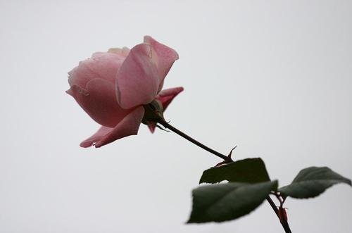冬空のバラ