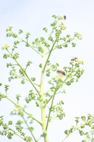 タラノキの花