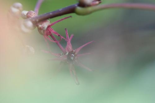 ベニマンサクの花