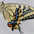 孵化した黄アゲハ