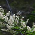 ウツギの花の蜜を吸うアサギマダラ