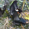 水を飲むアゲハ蝶