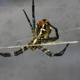 ジョロ蜘蛛