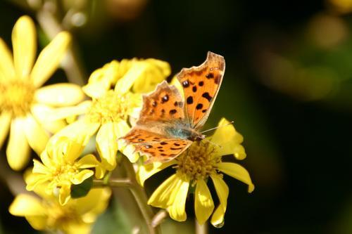 ツワブキの花とキタテハ蝶