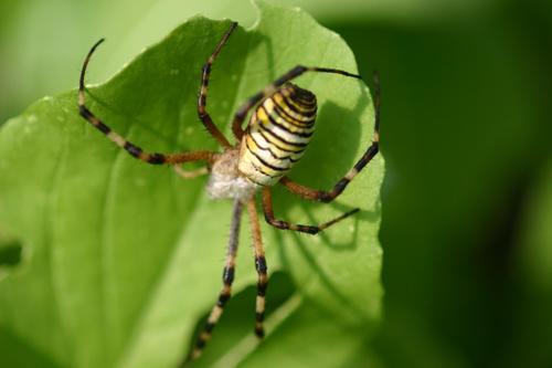 お腹が卵でいっぱいの蜘蛛