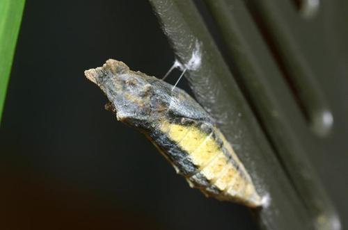 黄アゲハの蛹