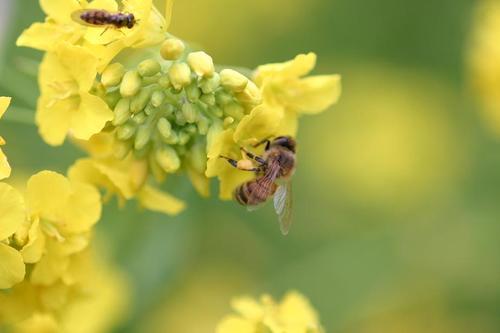 花粉を集める蜜蜂