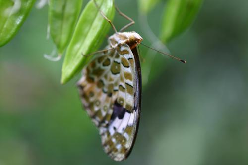 ツマクロヒョウモン蝶