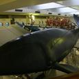 せみ鯨の実物大の模型