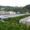 有田蜜柑の畑