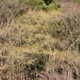 梅が島の麓の山 サンシュウユの花