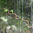 谷水の滴る岩を登る蛇