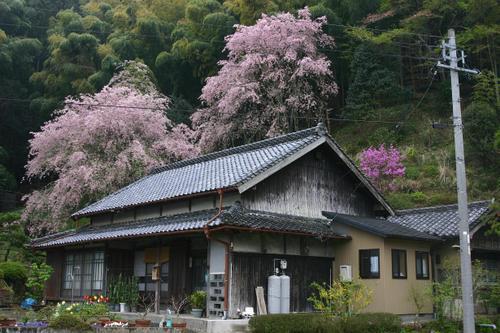 枝垂れ桜とミヤマツツジの咲く農家