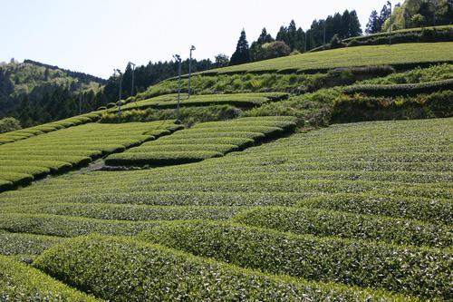 桧峠の茶園